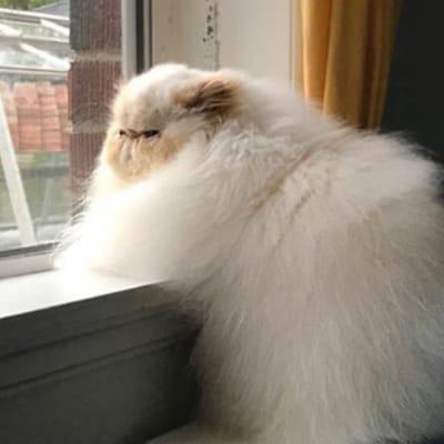 gato blanco obeso mirando por la ventana