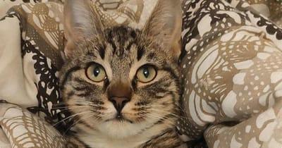 gato entre cojines mirando a camara