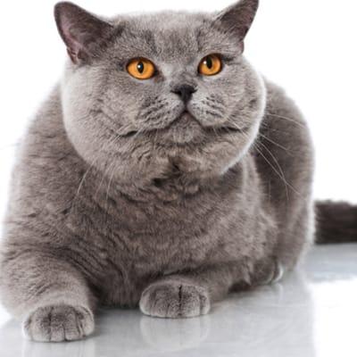 gato gris obeso