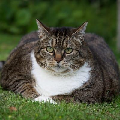 gato supergordo