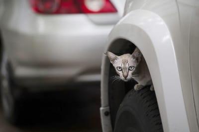 En invierno los gatos tienden a meterse a los motores. Fuente: shutterstock
