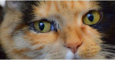 gatta-tricolore-fa-gli-occhioni-dolci