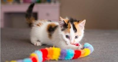 gattina-tricolore-non-lascia-il-suo-giochino