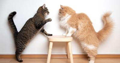 gatti-che-litigano