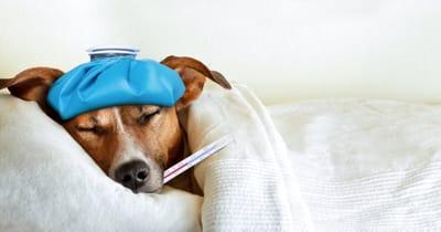 pies z gorączką