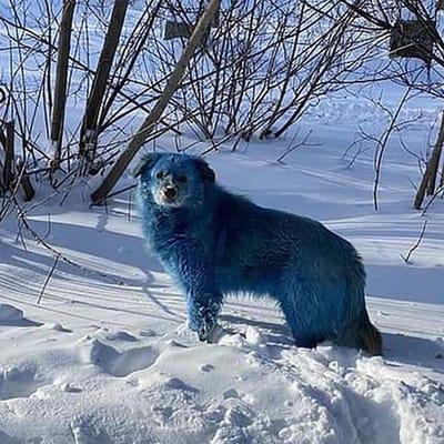 perro azul en la nieve