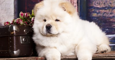 perro chow chow blanco junto a una maleta