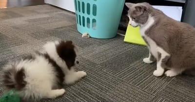 pomerania juega y gato en alerta