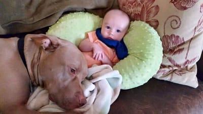 bebe con pitbull