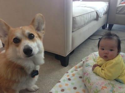 corgi con bebe chino