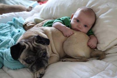 bebe pug gruñon