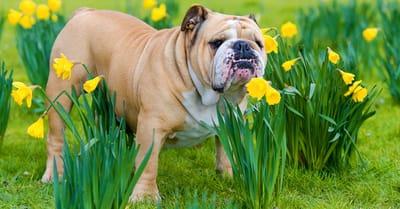 narciso toxico perros bulldog