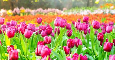 tulipanes peligrosos perros y gatos