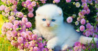 Crisantemo planta toxica gatos