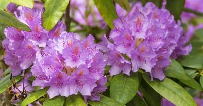 Rododendro toxico para gatos