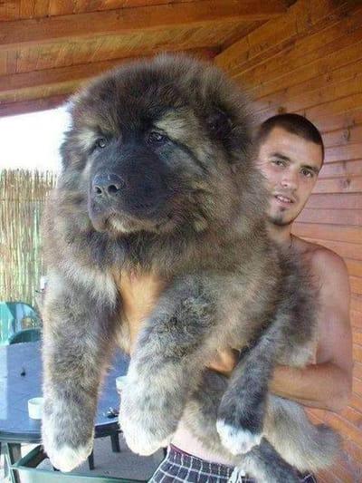 perro gigante en brazos dueño