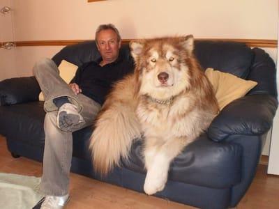 perro gigante blando en sofa