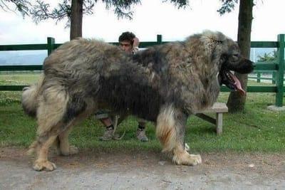 perro mas grande que un banco