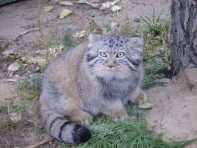 gato de pallas foto