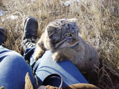 gato pallas humano
