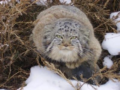 foto gato pallas rusia