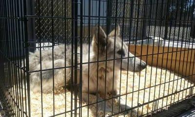perro lobo checo metido jaula