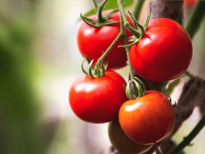 tomate prohibido para perros