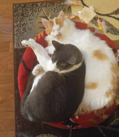 gatos duermen juntos