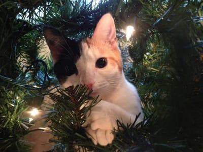 gato bicolor arbol de navidad