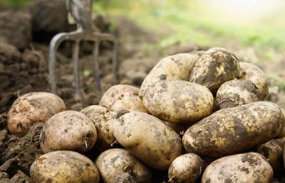 patatas perros alimentos