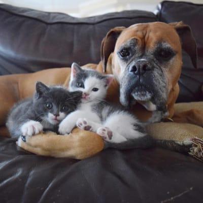 boxer con gatos