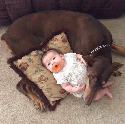 doberman bebe