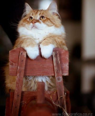 gato enano de la raza munchkin
