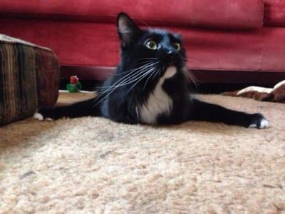 gato sin paciencia enfadado