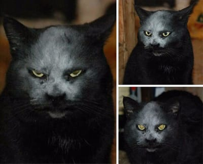 gato demonio negro