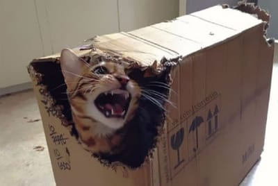gato loco caja