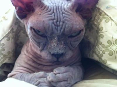 gato sin pelo siniestro