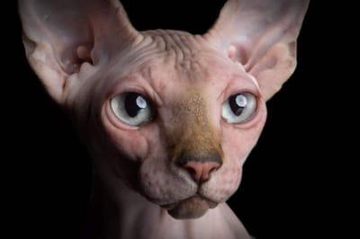 gato esfinge cara
