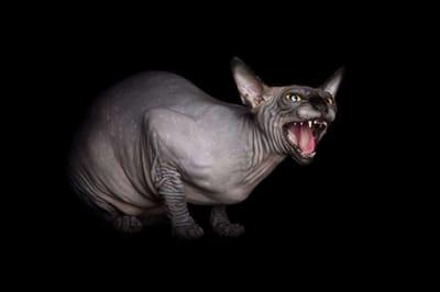gato esfinge enfadado alicia rius