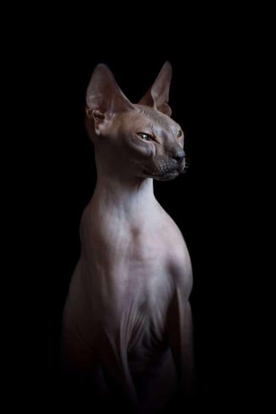 gato esfinge mirando fijamente