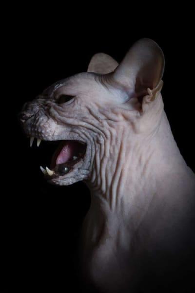 gato esfinge gritando