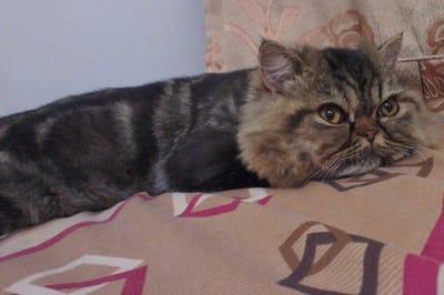 gato persa pelado