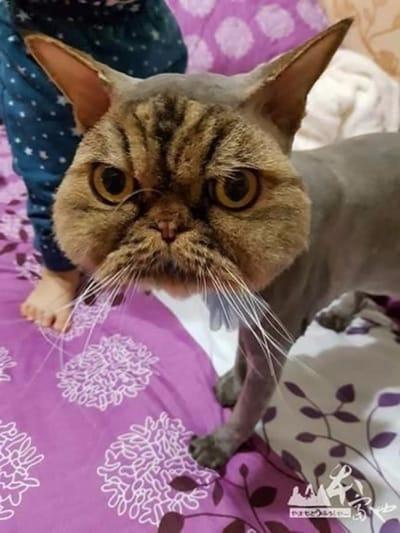 gato persa mal pelado