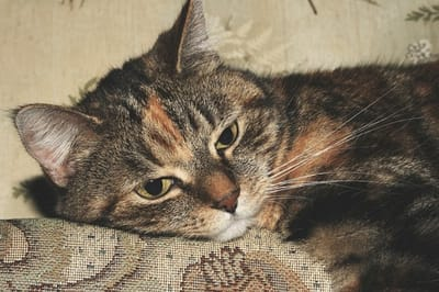 gato desanimado