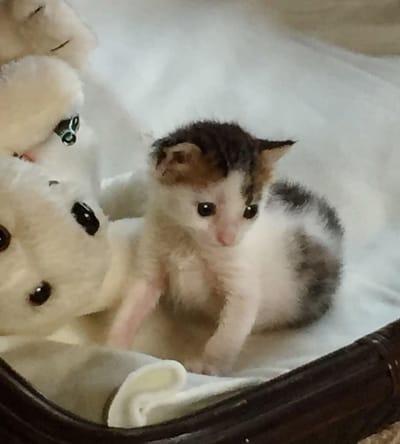 gato calico recien nacido