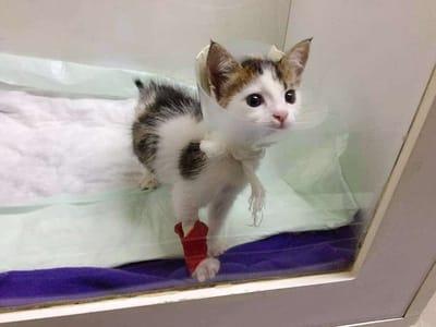 gato calico veterinario