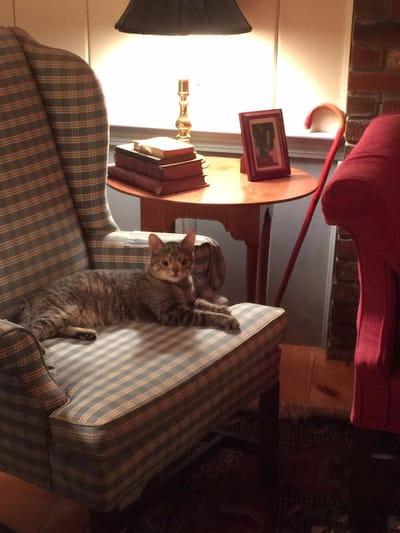 gata Sugarplum tumbada sofa casa acogida