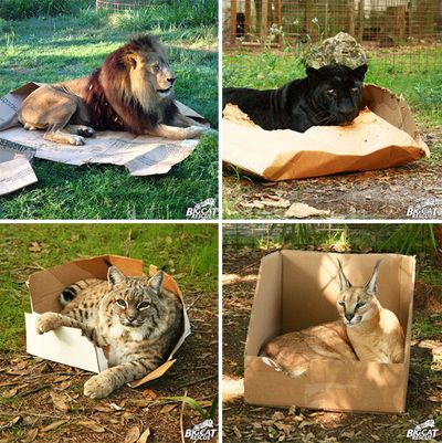 felinos en cajas de carton