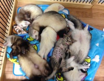 gata adoptada por hurones
