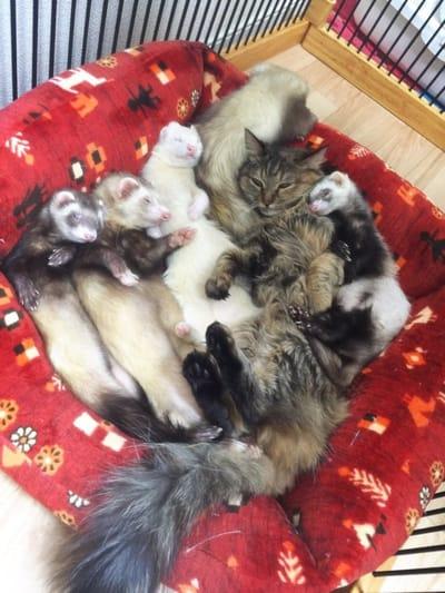 familia hurones gata felices